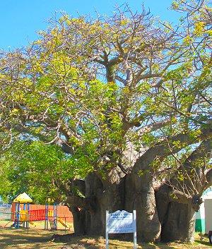 baobab tree barbados