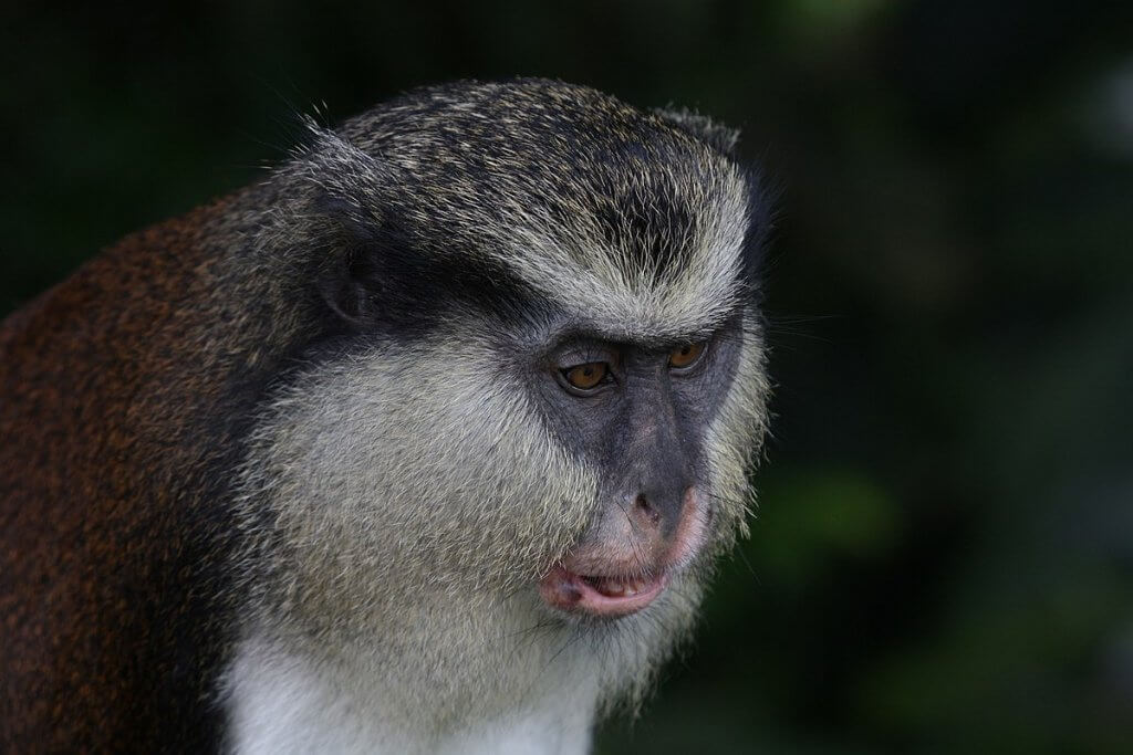 Things to do in Grenada: Mona Monkey Grand Etang National Park